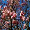 Magnolia, arborele de o frumusete spectaculara