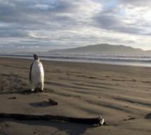 MEDIU / Happy Feet, pinguinul imperial, a fost eliberat