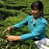 INTERNAŢIONAL / Primul institut de studii înalte privind ceaiul va fi deschis în 2012