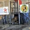Leoaicele din Timisoara au ajuns in rezervatia LIONSROCK