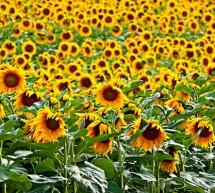 Semintele de floarea soarelui la export