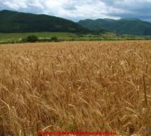 """ECONOMIE / România, """"grânarul Europei"""": Recolta record de anul acesta i-a îmbogățit pe marii cultivatori"""