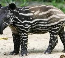 Gradina zoologica din Timisoara si-a marit numarul de membri cu un tapir